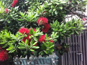 The New Zealand Christmas tree - Pohutukawa